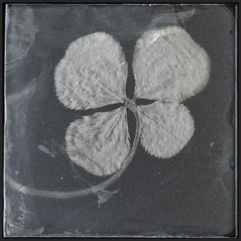 collodion_four_leaf_clover